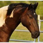 Elite Equine EPM