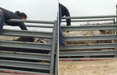 Bucking Rodeo Bulls Chiropractic Care