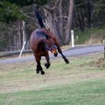 elite-equine-ks-animal-chiropractic-35